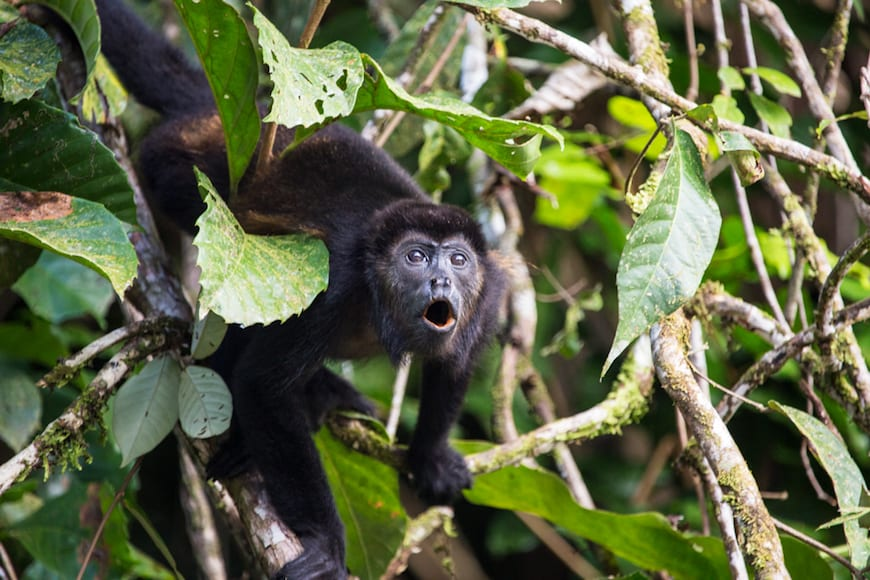 Costa Rica Adventure / Howler Monkeys