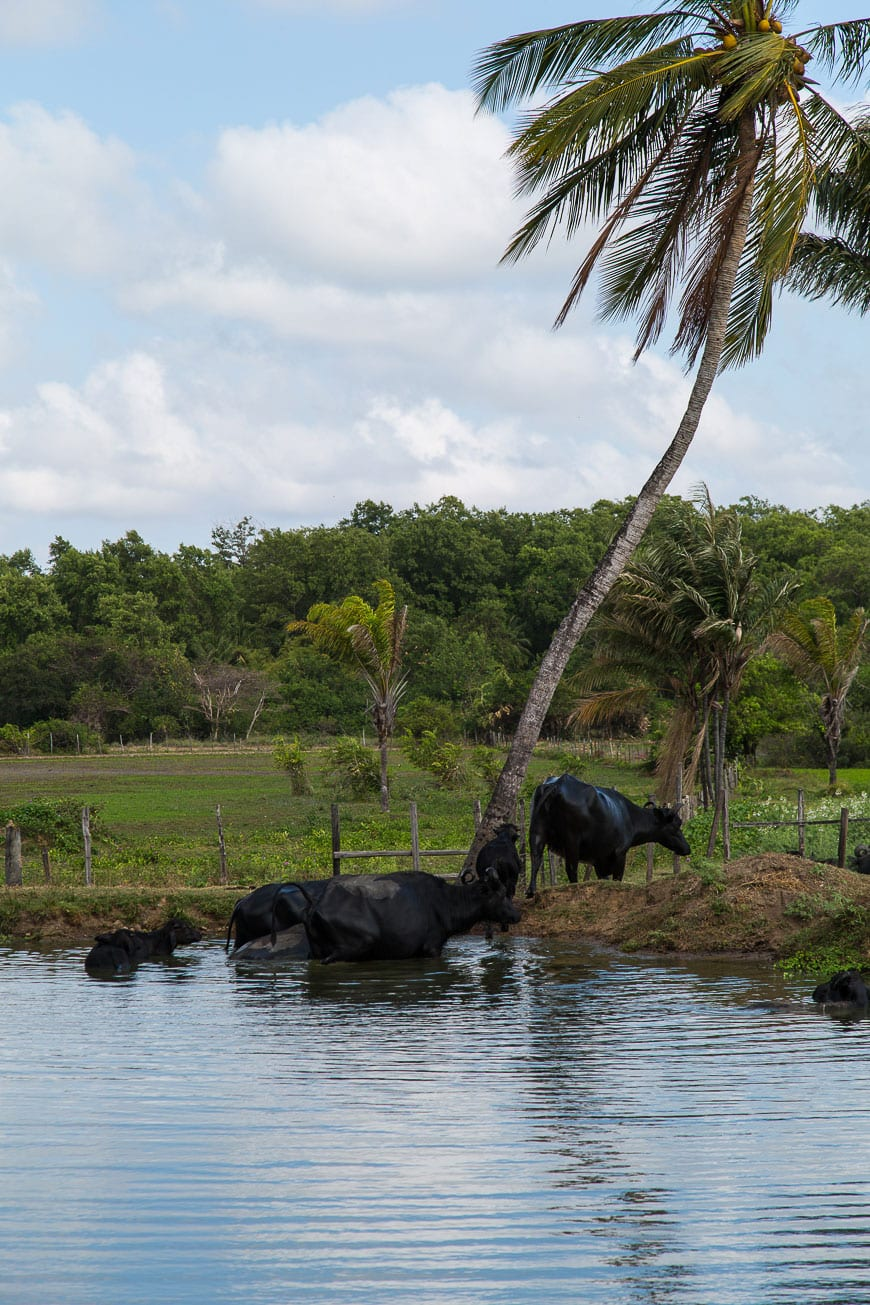 Water Buffalo Belém, Brazil